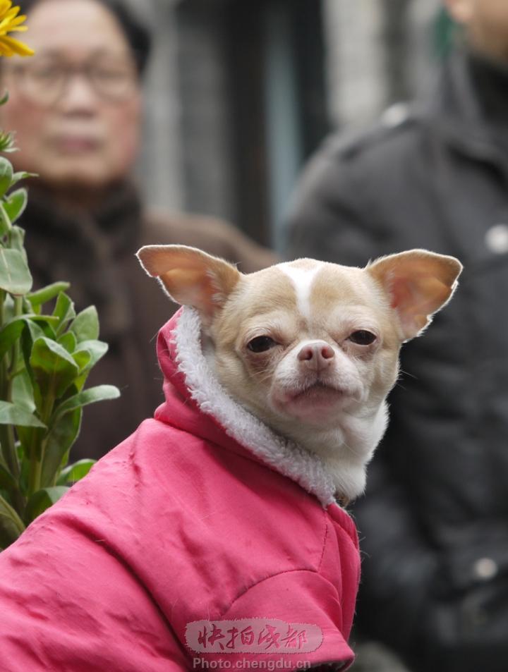 金娃娃狗歌手金娃娃本人图片金娃娃狗图片